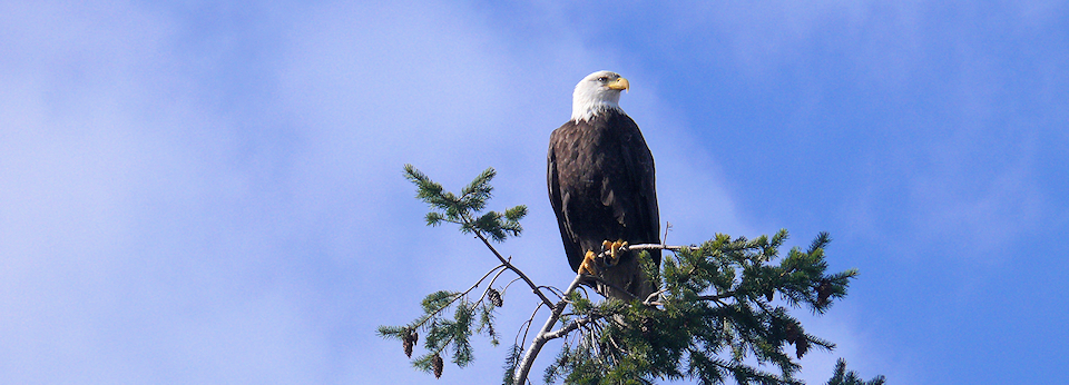 Eagle On Denman Island