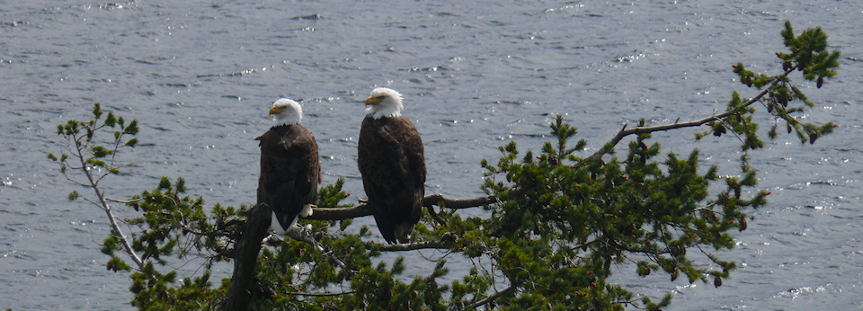 Eagle Pair On Denman Island